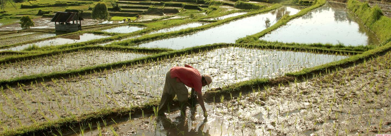 Petani Mencari Keong di Persawahan Desa Saruaso